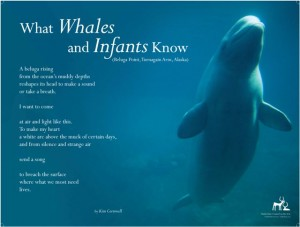 What Whales and Infants Know, Beluga Point, 2012